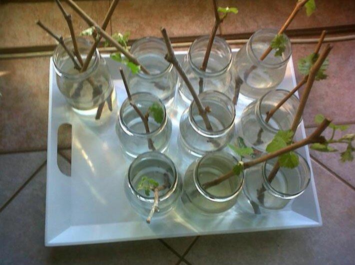 Размножение винограда древесными черенками